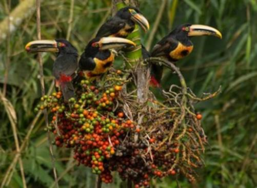 Los Cedros Toucans MCooper 0186973 Version 2